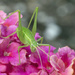 Grasshopper on Lantana by gaylewood