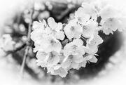 19th Apr 2017 - Cherry Blossom.......