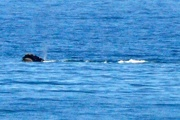 23rd Apr 2017 - Right whale
