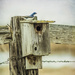 Bluebird House and Bluebird?  Uh ....no .... by 365karly1