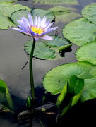 24th Apr 2017 - Blue Water Lilly