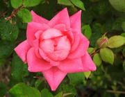 23rd Apr 2017 - PINK Roses