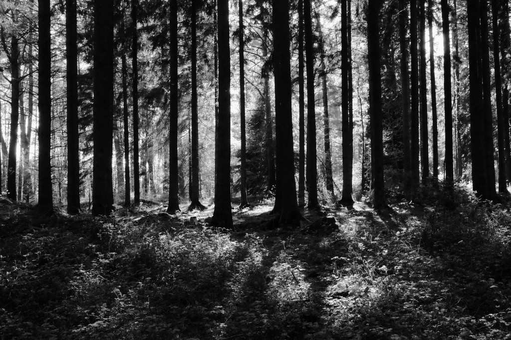 PLAY April - Fuji 27mm f/2.8: Pine Trees by vignouse