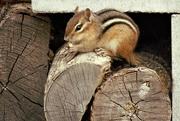 23rd Apr 2017 - Chipmunk enjoying a peanut!