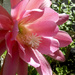 Epiphyllum Bloom