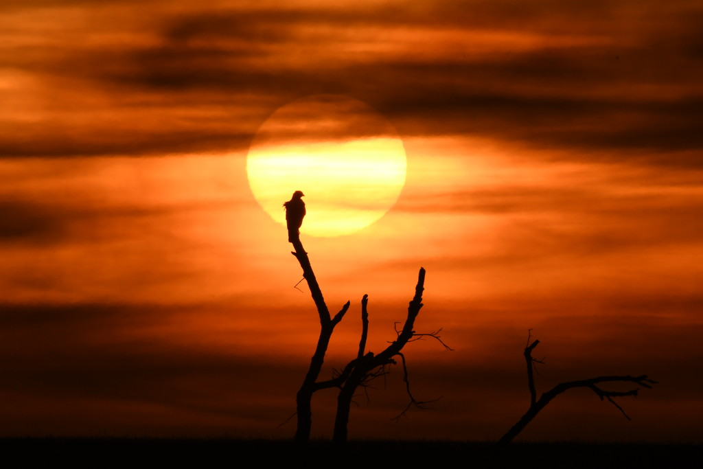 Hawk at Kansas Sunset by kareenking