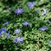 Blue Anemone Field