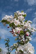 24th Apr 2017 - Crab Apple blossom....