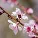 peach blossom by aecasey