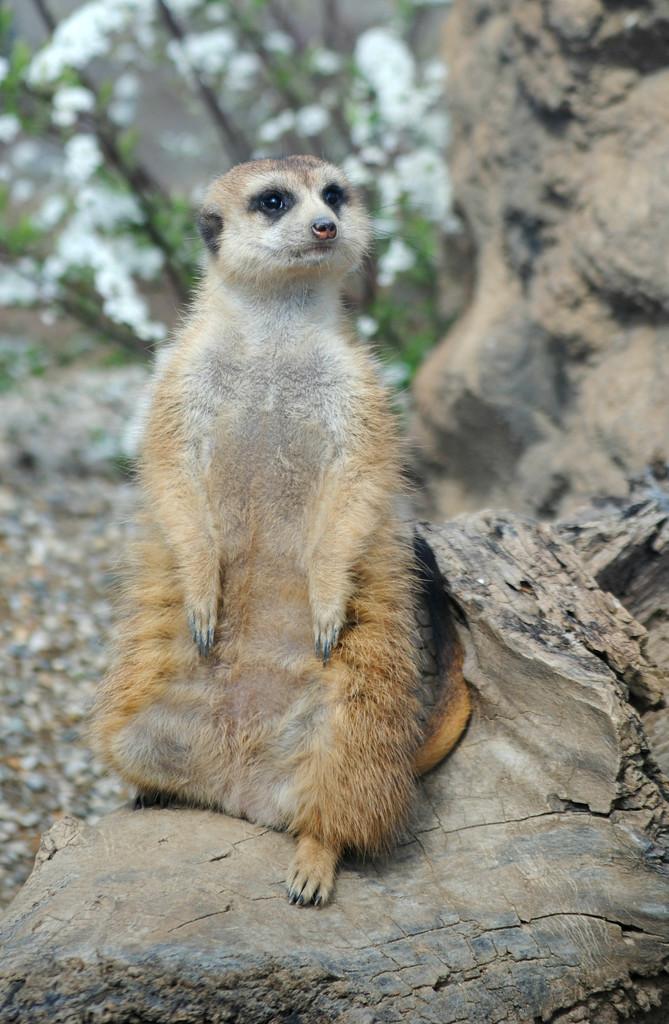 Meerkat Monday by alophoto
