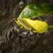 Skunk Cabbage Hanging Over Berry Creek