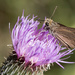 Skipper on Thistle by gaylewood