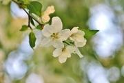 23rd Apr 2017 - flowering