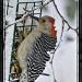 Red Bellied Woodpecker by bluemoon