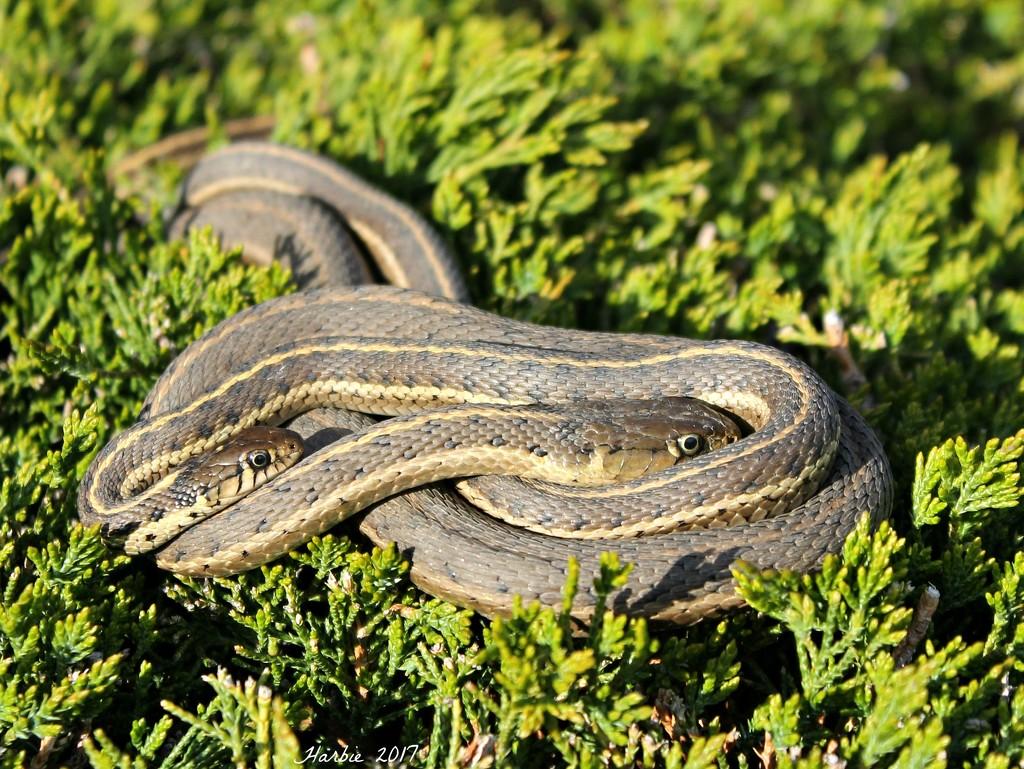 Garter Snake Buddies Sunning by harbie
