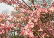 25th Apr 2017 - Dogwood tree blossoms