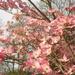 Dogwood tree blossoms by mittens