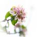 Apple Blossom by dorsethelen