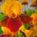 Iris by joysfocus