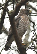 25th Apr 2017 - Hawk of some kind, maybe Cooper's?