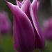 Tulip elegance