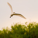 Great White Egret Banking