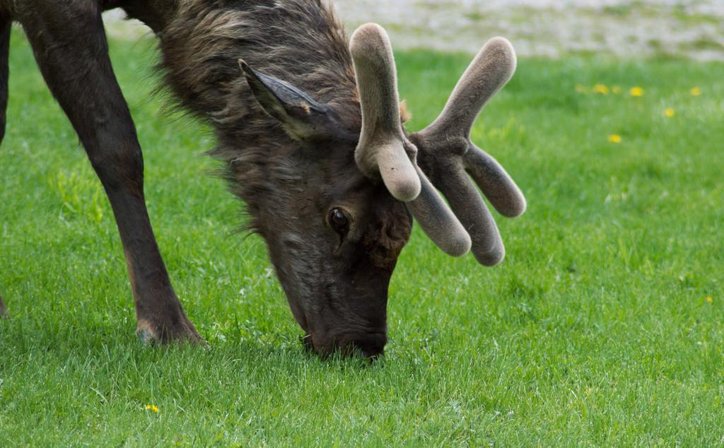Elk in Velvet by 365karly1