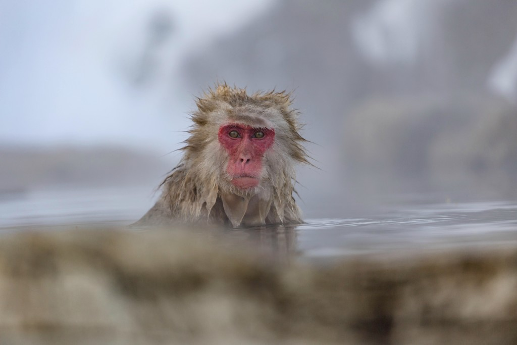 Snow Monkey in the Hot Springs by jyokota