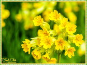 26th Apr 2017 - Cowslips