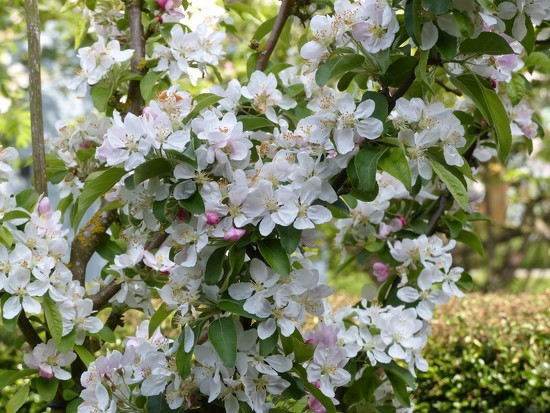 Crab Apple Blossom  by foxes37