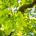 Oak Leaves in the Sunshine
