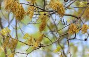 26th Apr 2017 - Pin Oak tree starting to bloom