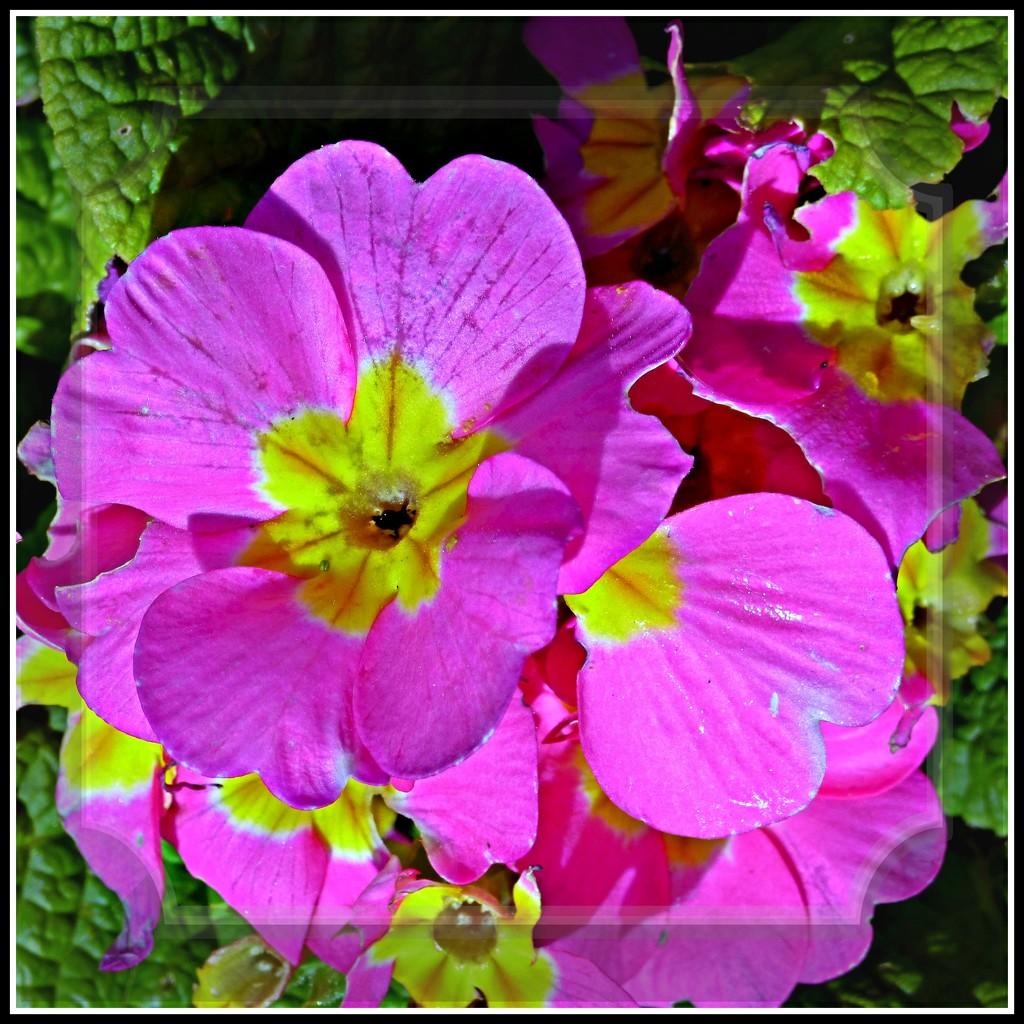 Primula  by beryl