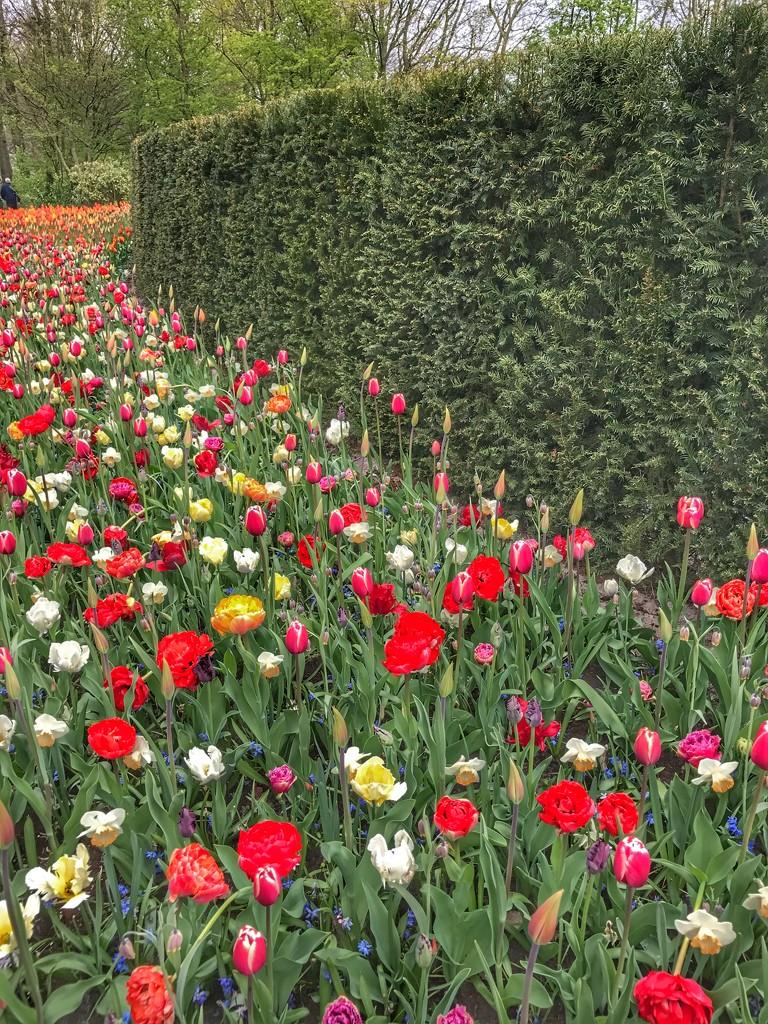 Keukenhof Tulip Gardens by darrenboyj