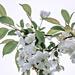 White Crabapple Blossoms II