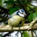 A BONNY BLUE TIT by markp