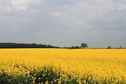 25th Apr 2017 - Yellow Field