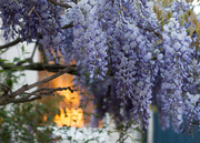 26th Apr 2017 - Wisteria at dusk