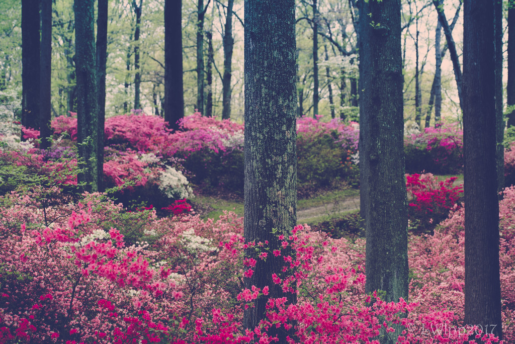 Lost In A Forest Of Azaleas  by lesip