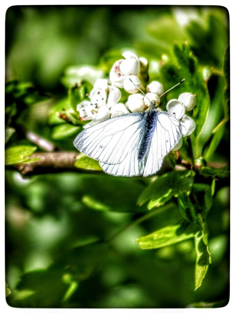 Every time I went near, the butterfly fluttered away - but eventually! by lyndamcg