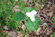 27th Apr 2017 - White Trillium