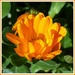 Marigold or Calendula  by beryl