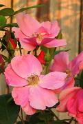 26th Apr 2017 - PINK Roses
