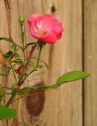 25th Apr 2017 - PINK Rose