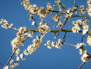 18th Apr 2017 - Beautiful blossom against the blue sky. ...