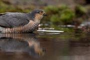 27th Apr 2017 - Bathing Sparrowhawk