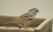 27th Apr 2017 - white crowned sparrow