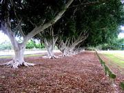 29th Apr 2017 - Row of trees  Wynnam