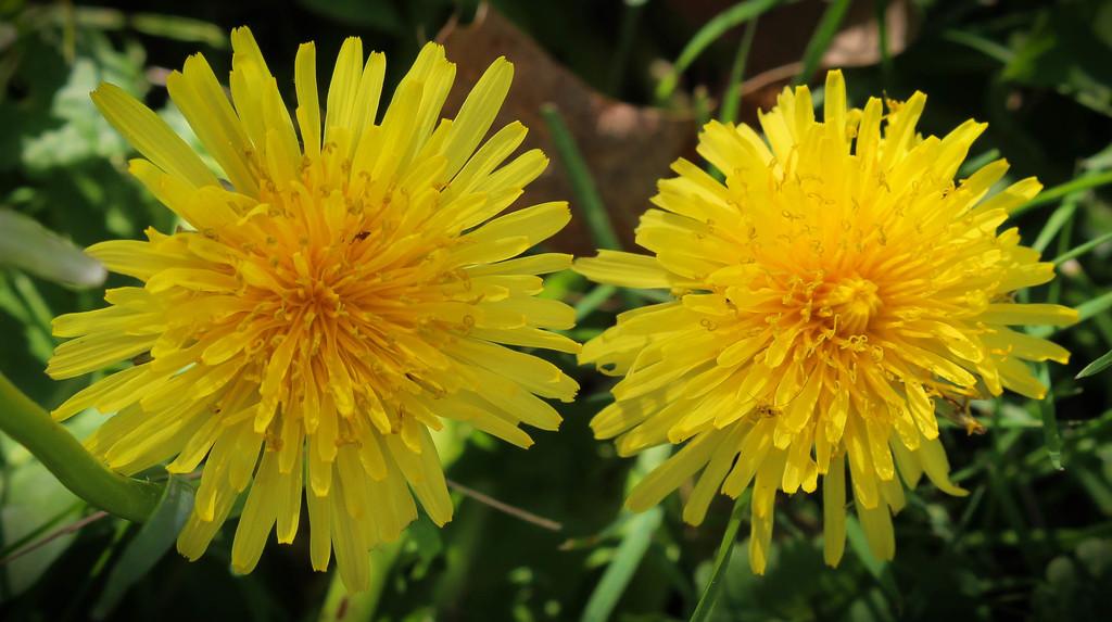 Happy little dandelions by mittens