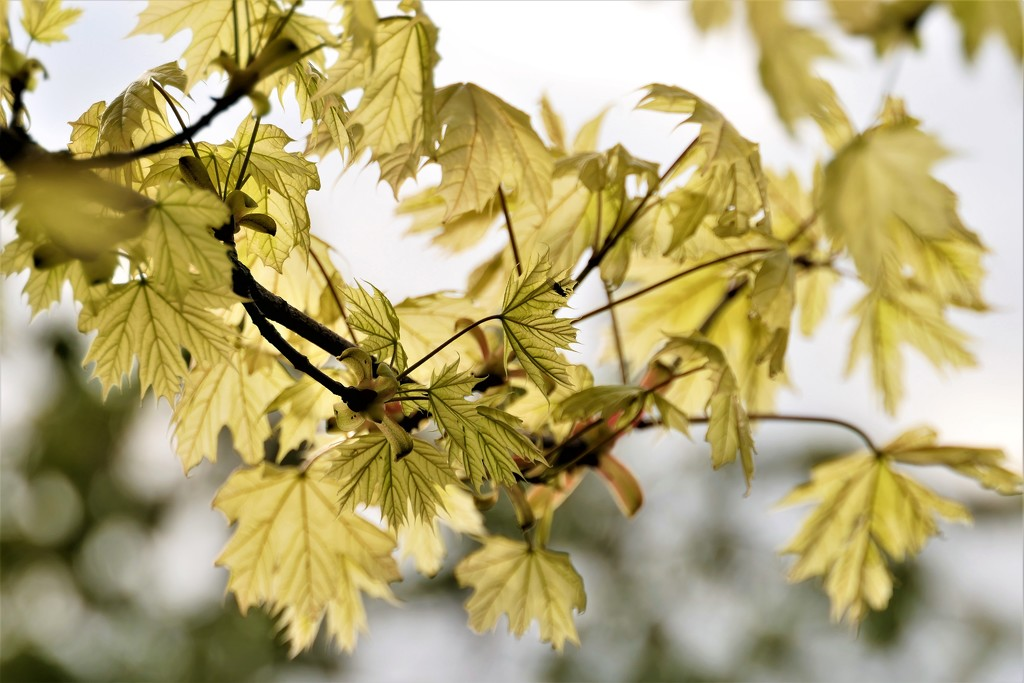 Young Maple by carole_sandford